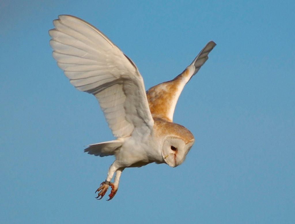 Barn Owl survey