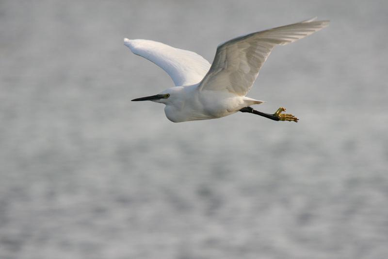 Little Egret breeding bird survey
