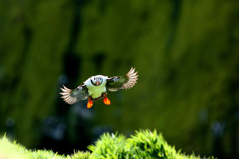 Puffin bird survey