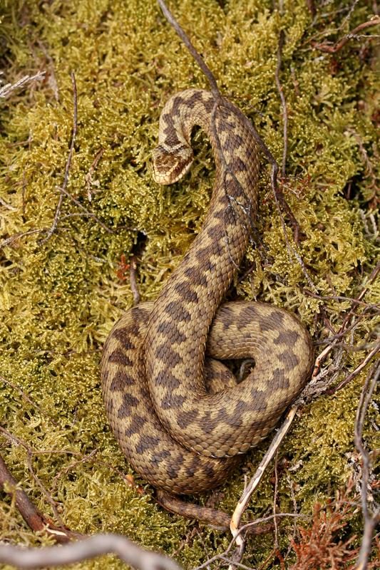 Adder on reptile survey
