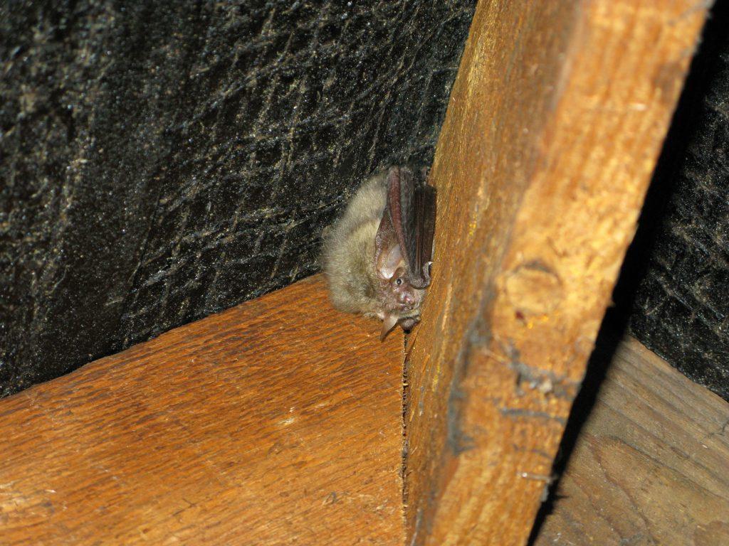 Bat survey for loft conversion