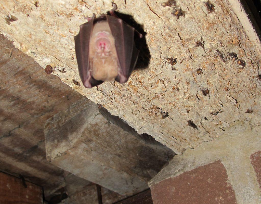 Greater Horseshoe bat survey