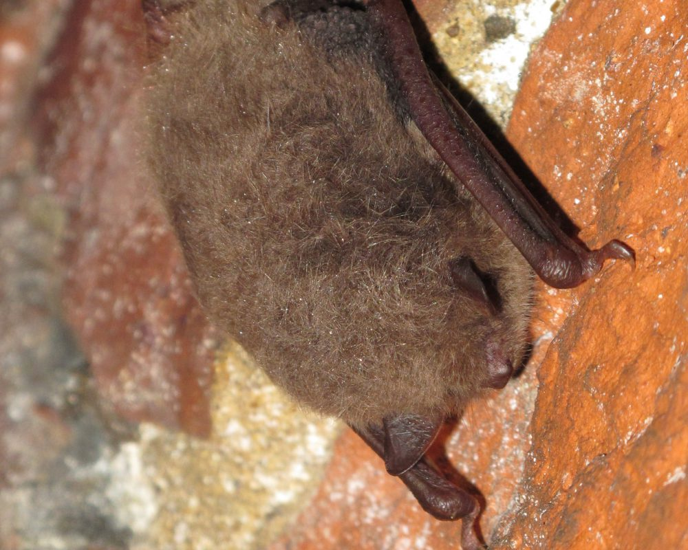 Bat surveys for Phase 1, 2 and bespoke mitigation